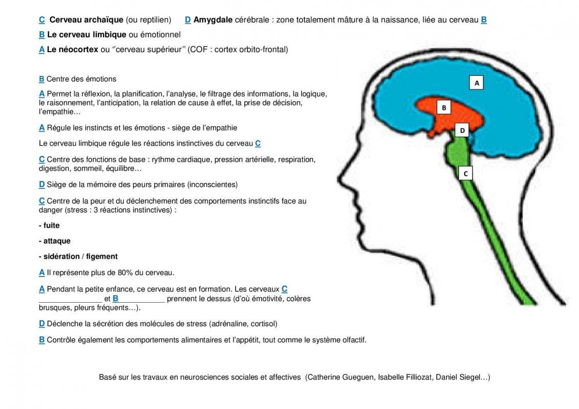 Exo 3 cerveaux correction